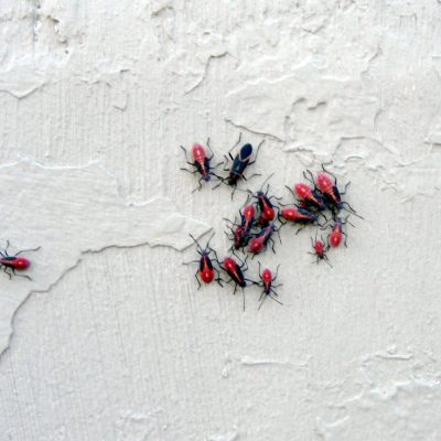 Box elder bugs house siding